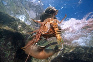 Patrick Beijk special of the day lobster dive underwater photography national geographic